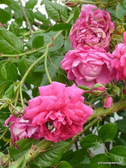 dafür sind ihre Blüten wunderschön und der Duft verbreitet sich im ganzen Hof.....