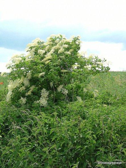 Die Hollunderbüsche stehen bei uns überall - ein Schlemmerplatz für viele Insekten