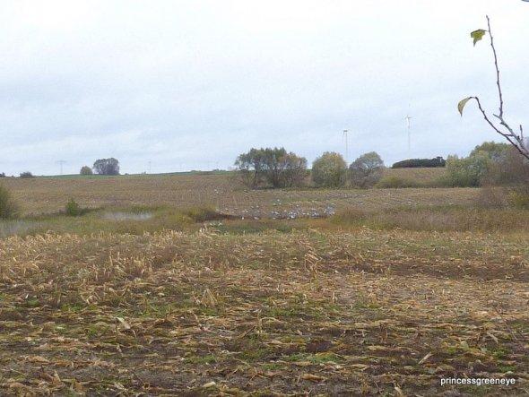 das Bild ist noch aus dem letzten Herbst - hier haben sich 100erte von Kranichen und Wildgänsen über ein abgeerntetes Feld hergemacht