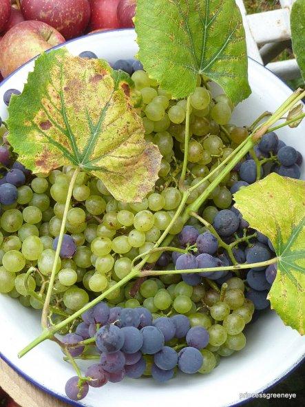 Auch die Weintrauben werden langsam reif