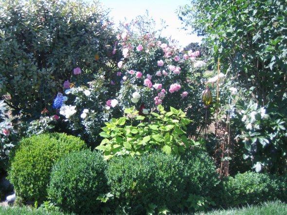 Garten im Juni, Rose Bonica