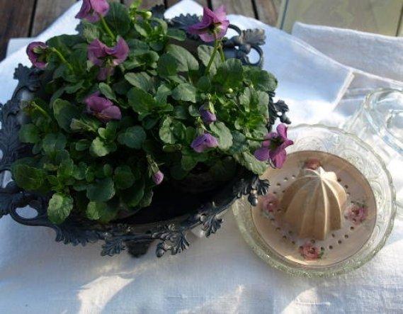 Februar bis Mai Horveilchen gibt es in vielen Farben einfach in eine Schale gestellt.