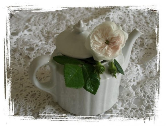 Mai/Juni Die erste Blüte meiner weißen historischen Wildrose Madame 'Hardy'