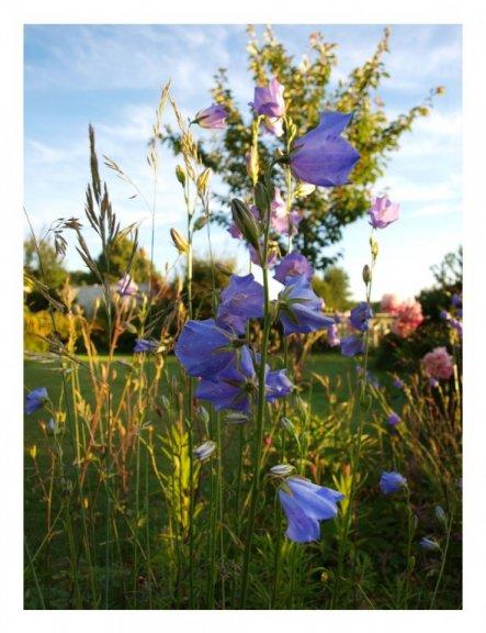Blumenbeet mit Glockenblumen