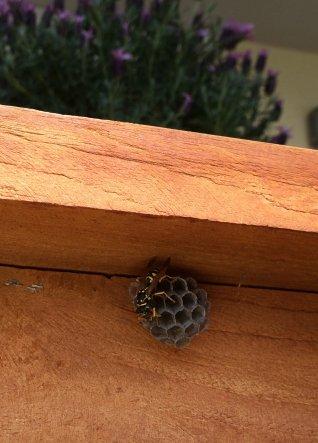 2 Wespen bauten fleissig an der Behausung - musste sie leider meines Balkones verweisen.