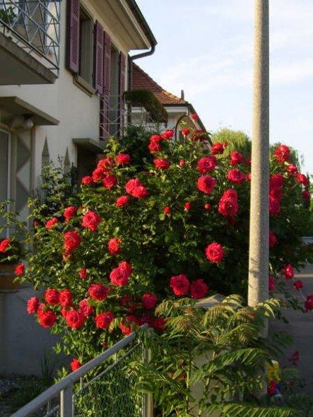 meine 50 jährigen Rosen hat noch mein Grossvater gepflanzt
