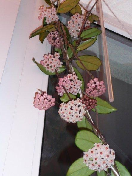 Die Porzellanblume ist wirklich mein ganzer Stolz