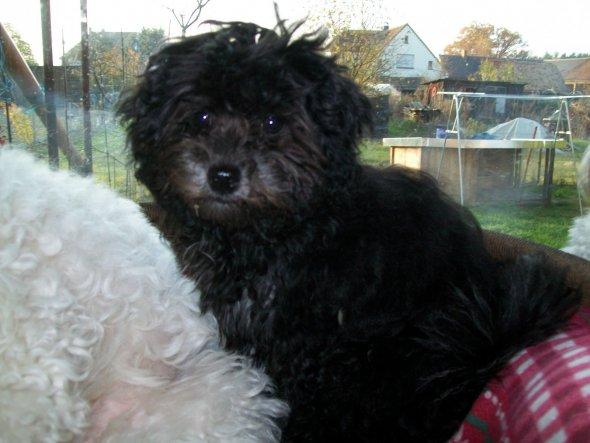 Und das ist Debby,unserer jüngster Frechdachs. Sie wird im Mai ein Jahr alt. Becky und Debby stammen aus unserer Zucht.