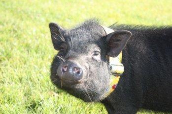 Haustiere 'Schweinchen'