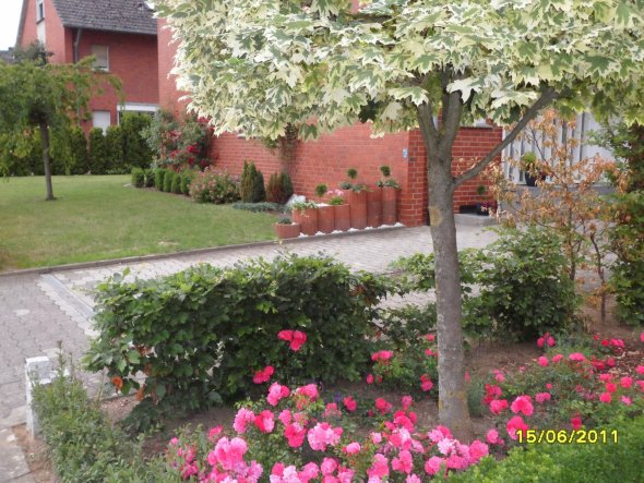"""Ein Blick vom Nachbarn aus. Im Hintergrund unsere """"Japanische Edelkirsche"""" im Vorgarten"""