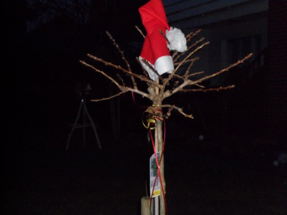 Der Ginkgo-Kugelbaum