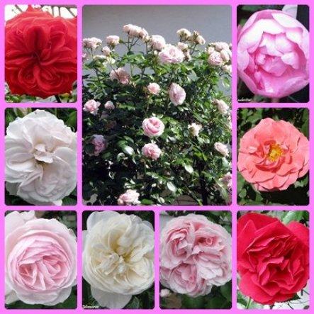 Meine Rosen im Juni