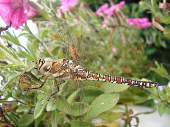 Diese Lybelle sass einige Minuten bei uns im Garten und ließ sich brav fotografieren...