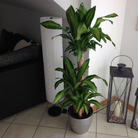 Zimmerpflanzen binden Schadstoffe, wirken beruhigend und heben die Stimmung; so auch meine Yucca Palme hier im Essbereich :)