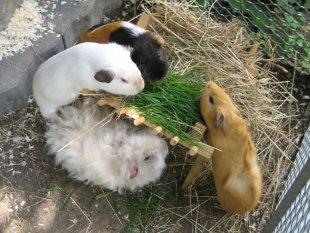 Haustiere 'Unsere Meerschweinchen'