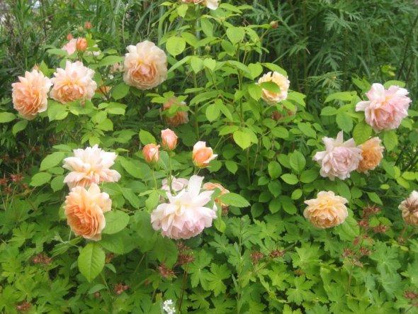 """David-Austin-Rose """"Grace"""" im Vorgarten"""