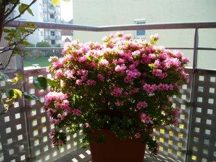 Blühende Azalee