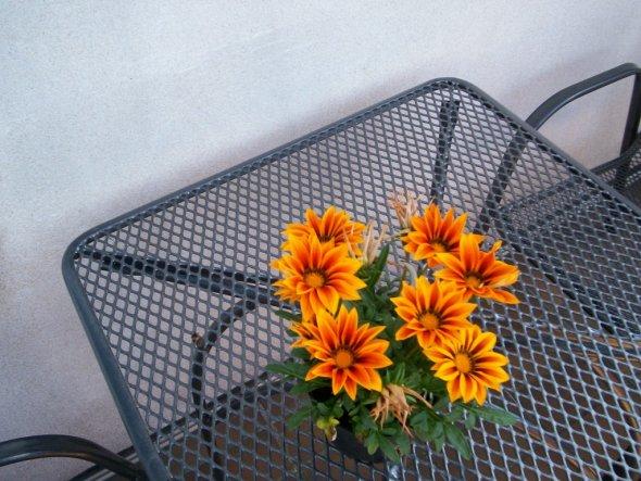 Mittagsblume...so schön sieht die Pflanze nur zwischen Mittag und Nachmittag aus