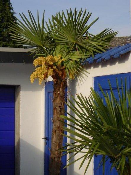 Palme in Blüte