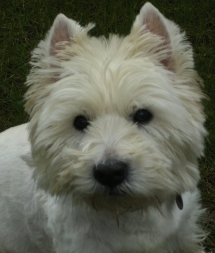 Haustiere 'West Highland Terrier'