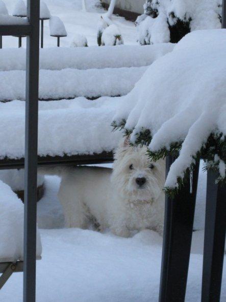 Haustiere 'West Highland Terrier'